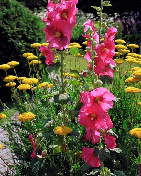 Wall Art - Photograph - Hollyhock by The Picture Store/science Photo Library
