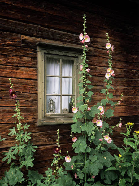 Alcea Photograph - Hollyhocks (alcea Rosea) by Bjorn Svensson/science Photo Library