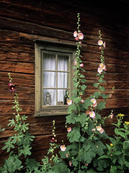 Wall Art - Photograph - Hollyhocks (alcea Rosea) by Bjorn Svensson/science Photo Library