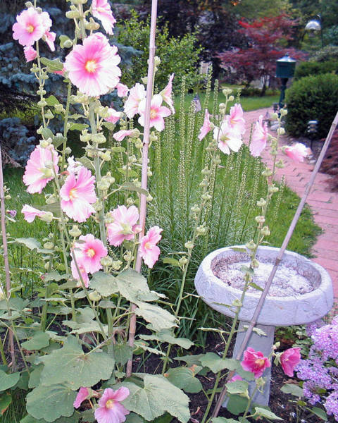 Photograph - Hollyhocks by Linda Feinberg