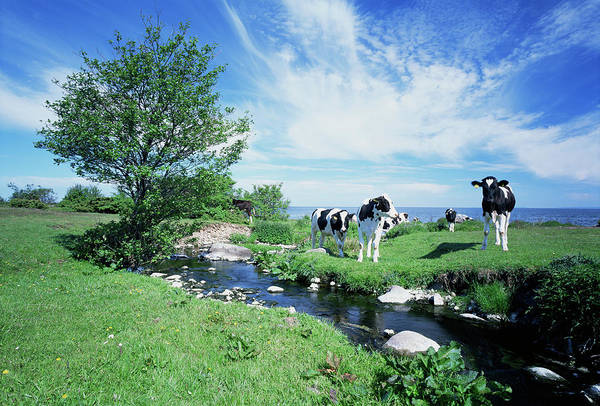 Skane Photograph - Holstein Cows by Bjorn Svensson/science Photo Library