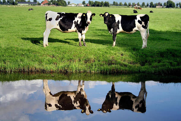 Holstein Wall Art - Photograph - Holstein Cows by Chris Martin-bahr/science Photo Library