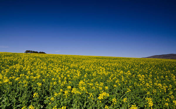 Canola Wall Art - Photograph - Holy Canola by Aaron Bedell