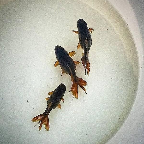 Japanese Koi Photograph - ..::home Growns::..- #goldfishunion by Joseph Brown