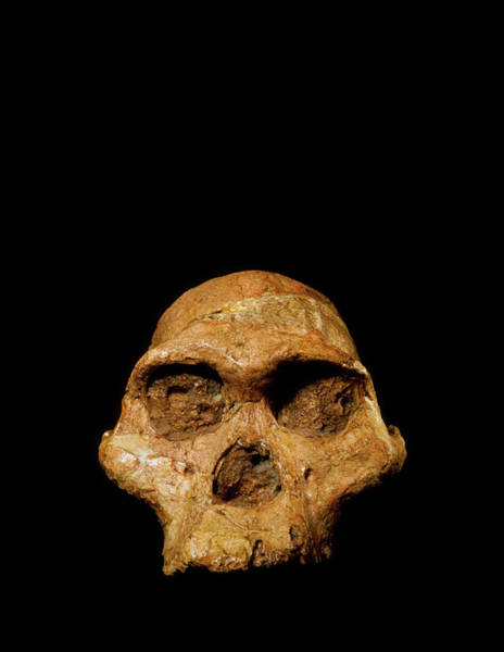 Wall Art - Photograph - Hominid Fossil Skull Australopithecus Africanus by John Reader/science Photo Library