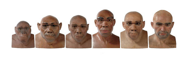Wall Art - Photograph - Hominid Reconstruction Sequence by Natural History Museum, London/science Photo Library
