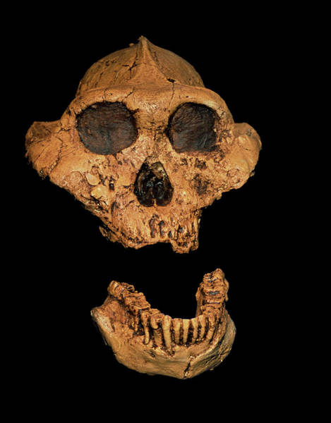Er Photograph - Hominid Skull (paranthropus Boisei) by Sinclair Stammers/science Photo Library