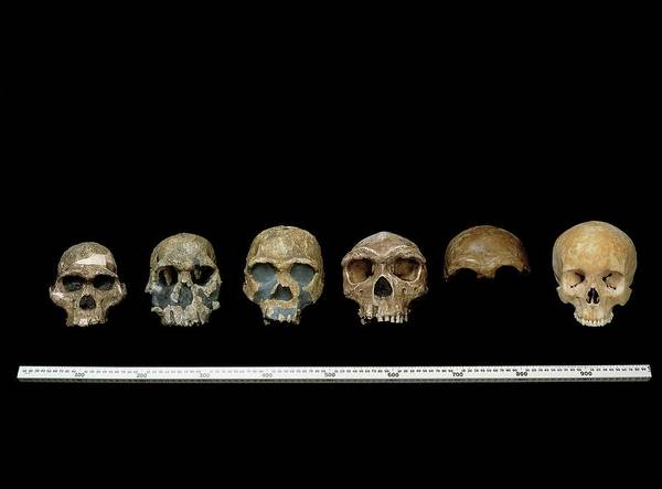 Homo Sapiens Photograph - Hominin Skull Specimens by Natural History Museum, London/science Photo Library