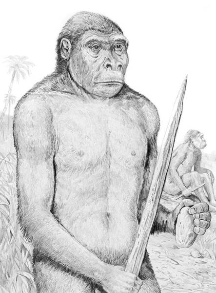 Wall Art - Photograph - Homo Erectus by Michael Long/science Photo Library