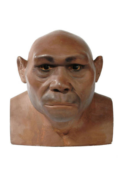 Wall Art - Photograph - Homo Erectus Model by Natural History Museum, London/science Photo Library
