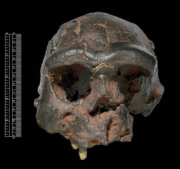Wall Art - Photograph - Homo Erectus Skull (sangiran 17) by Natural History Museum, London/science Photo Library