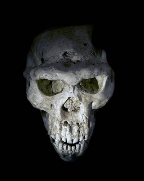 Wall Art - Photograph - Homo Erectus Skull by Sinclair Stammers/science Photo Library