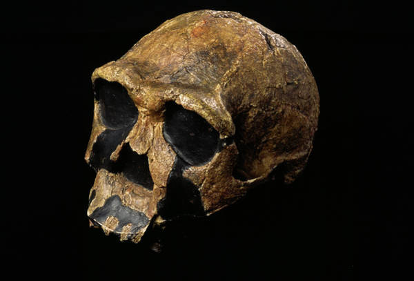 Er Photograph - Homo Ergaster Skull by Pascal Goetgheluck/science Photo Library