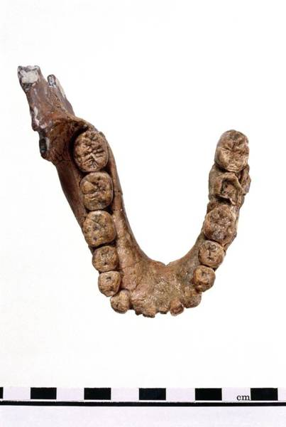 Oh Wall Art - Photograph - Homo Habilis Jaw Fragment by John Reader/science Photo Library