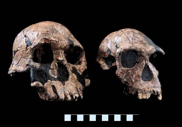 Wall Art - Photograph - Homo Skull Specimens by Natural History Museum, London/science Photo Library