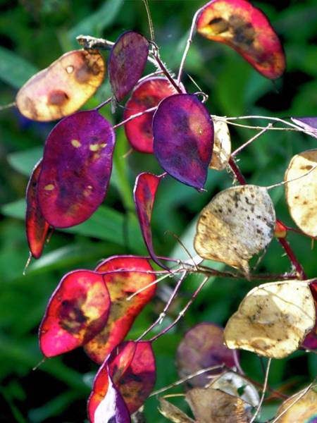 Wall Art - Photograph - Honesty (lunaria) Seed Pods by Ian Gowland/science Photo Library