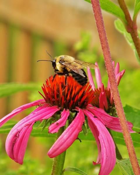 Photograph - The Honeybee by Kim Bemis