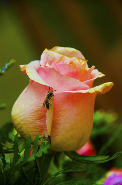 Wall Art - Photograph - Honey Bee And A Rose by Dave Sandt