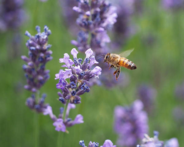 Photograph - Honey Bee And Lavender by Rona Black