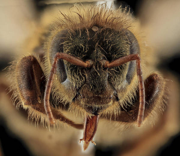 Photograph - Honey Bee, Apis Mellifera, Queen by Science Source