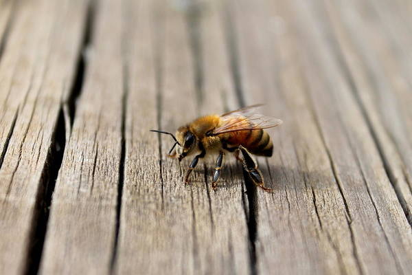 Photograph - Honey Bee Beauty Shot by Candice Trimble