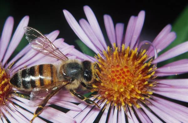 Wall Art - Photograph - Honey Bee by Ken Brate