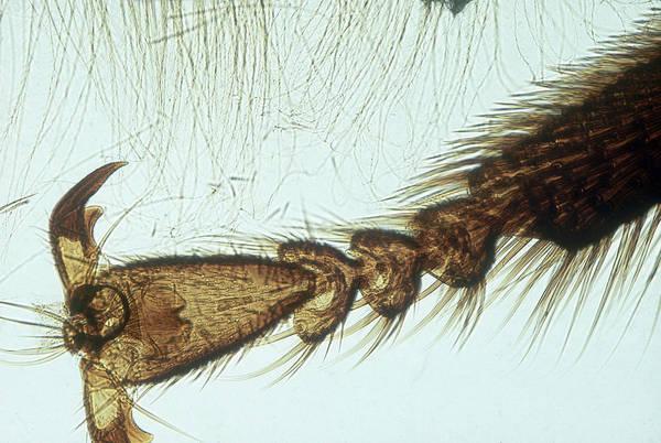Wall Art - Photograph - Honey Bee Leg, Lm by Gary Retherford