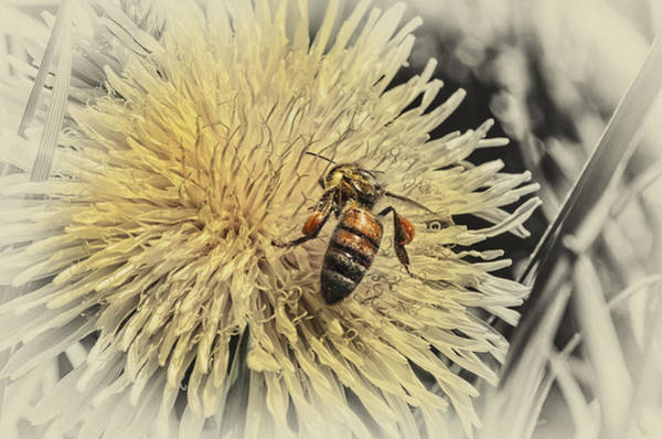 Honeybees Wall Art - Photograph - Honey Bee Meets Dandy Lion by Susan Capuano