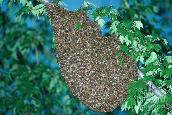 Pterygota Wall Art - Photograph - Honey Bee by Millard H. Sharp