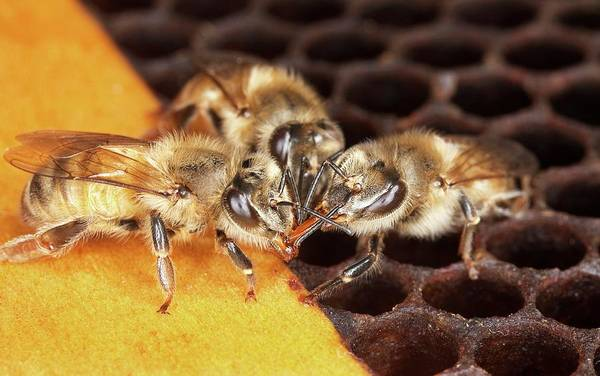 Honey Photograph - Honey Bee Mouth-to-mouth Feeding by Stephen Ausmus/us Department Of Agriculture