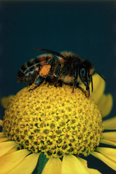 Bee On Flower Wall Art - Photograph - Honey Bee On Flower by Dr Jeremy Burgess/science Photo Library