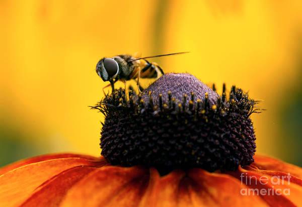 Pterygota Wall Art - Photograph - Honeybee On Orange Flower by Iris Richardson