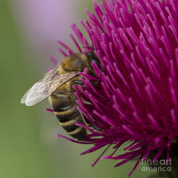 Photograph - Honey Bee On Ornamental Thistle by Clare Bambers