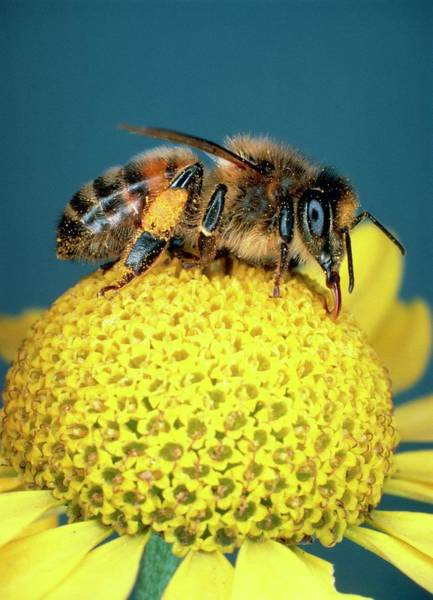 Bee On Flower Wall Art - Photograph - Honey Bee On Ox-eye Chamomile by Dr Jeremy Burgess/science Photo Library