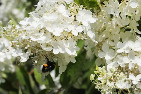 Photograph - Honey Bee On White Blossom by Brenda Kean