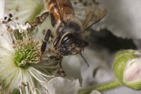 Wall Art - Photograph - Honey Bee by Paul Whitten