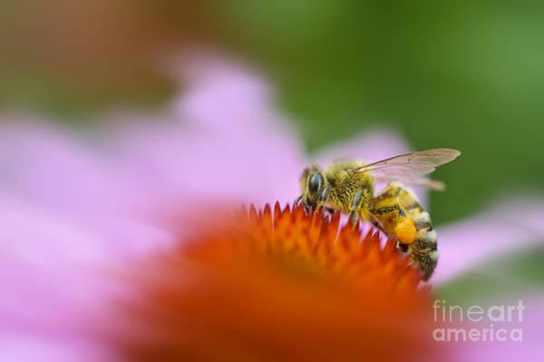 Photograph - Honey Bee Pollen On Leg by Dan Friend