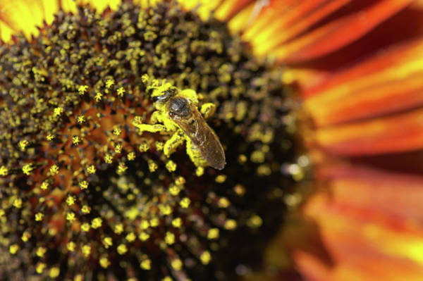 Helianthus Annuus Photograph - Honey Bee Pollinating A Sunflower by Brian Gadsby/science Photo Library
