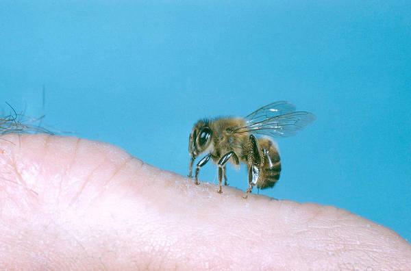 Wall Art - Photograph - Honey Bee Stinging by W Treat Davidson