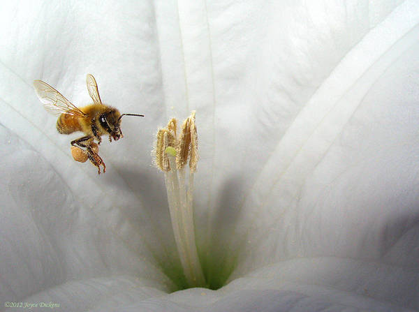 Wall Art - Photograph - Honey Bee Up Close And Personal by Joyce Dickens