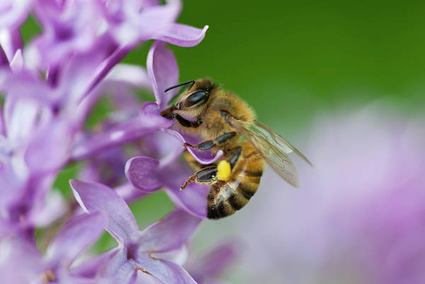Pollen Photograph - Honey Bee With A Pollen Basket by Ed Reschke