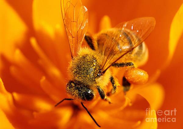 Photograph - Honey Bee Worker by Stuart Wilson