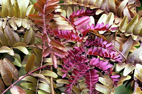 Bronze Leaf Wall Art - Photograph - Honey Locust (gleditsia Triacanthos) by Brian Gadsby/science Photo Library