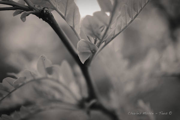 Photograph - Honey Locust V by Charles Muhle