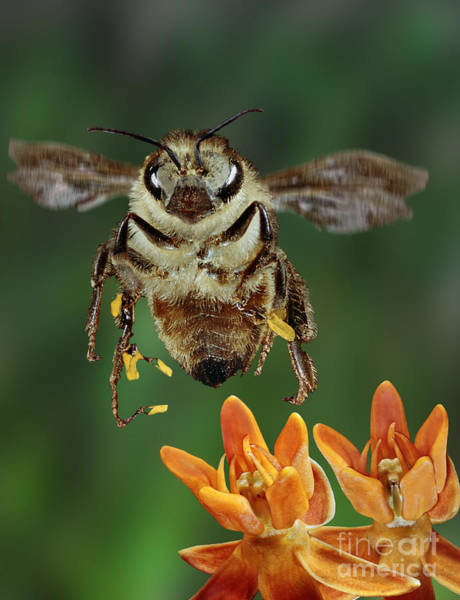 Photograph - Honeybee And Butterfly Milkweed by Darwin Dale