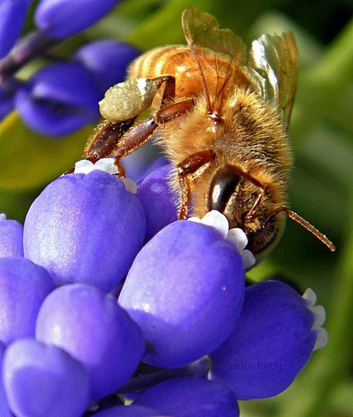 Wall Art - Photograph - Honeybee And Muscari by Chris Berry