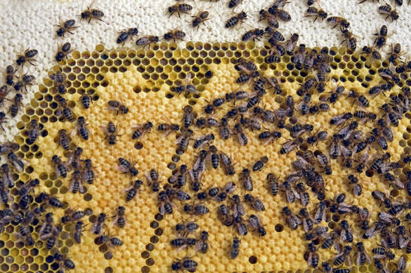 Honeybees Wall Art - Photograph - Honeybee Brood Frame by Simon Fraser/science Photo Library