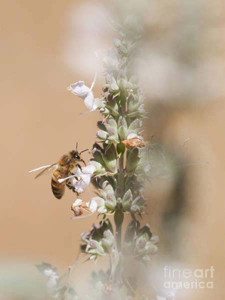 Photograph - Honeybee by Dan Suzio