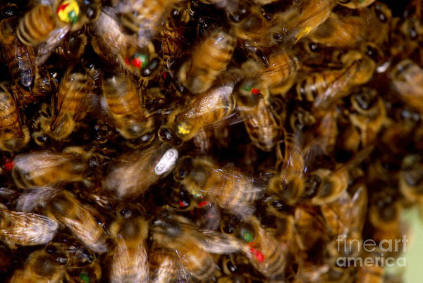 Pterygota Wall Art - Photograph - Honeybee Dance by James L. Amos