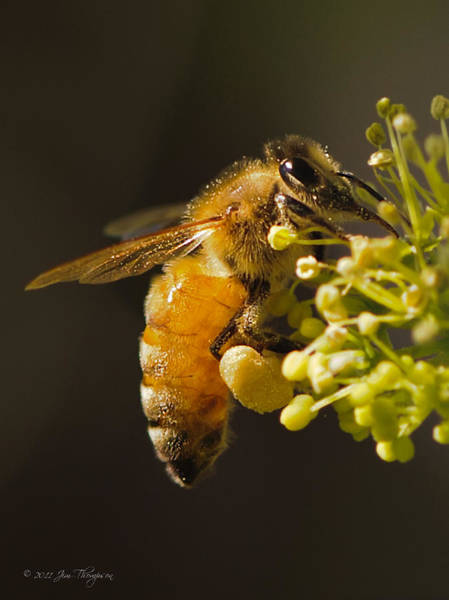 Photograph - Honeybee Loading Up by Jim Thompson